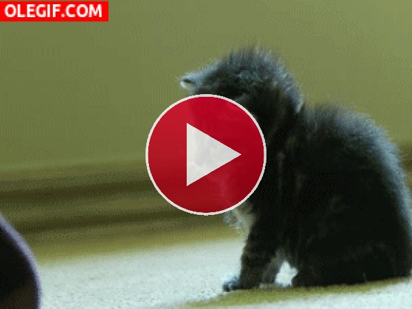 GIF: Este gatito ha aprendido a hacerse el muerto