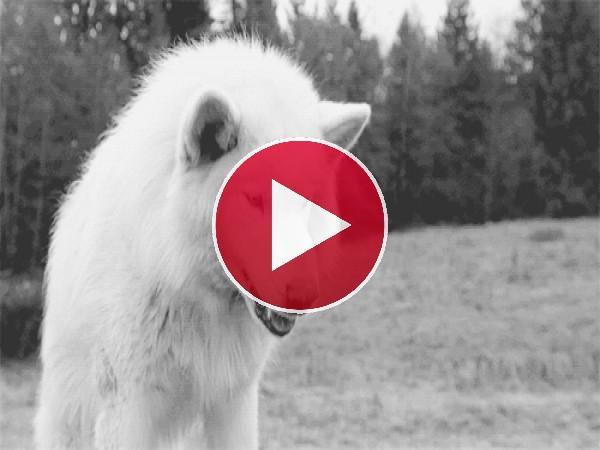 Este lobo está bastante irritado