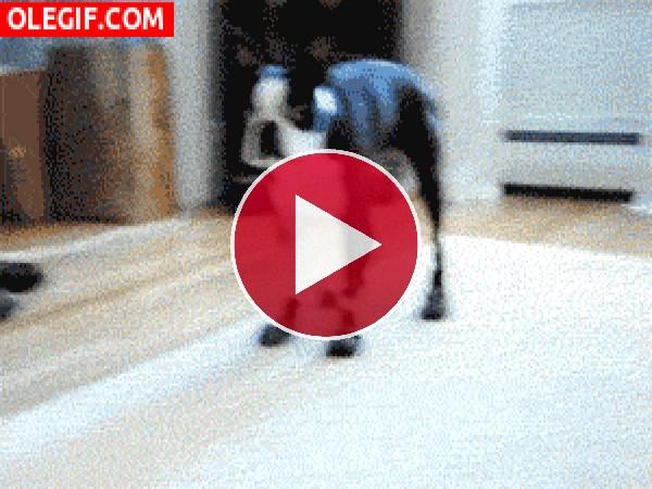 Este perro se tira como loco a por la galleta