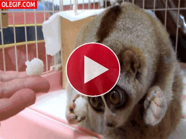 GIF: Un lori perezoso con cara de desconfianza