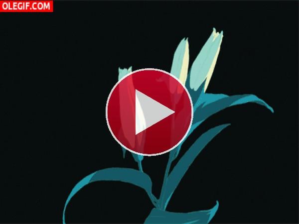 GIF: Liliums abriéndose y marchitándose