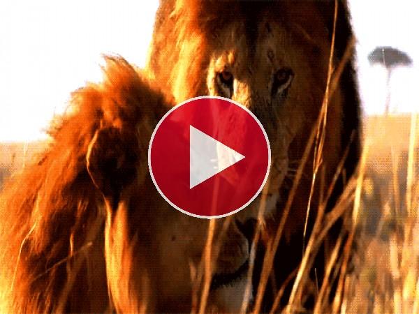 GIF: Estos leones están muy acaramelados