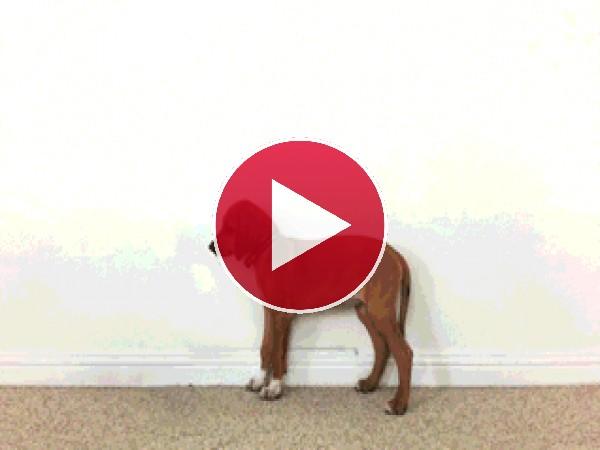 GIF: Este perro tiene el crecimiento acelerado
