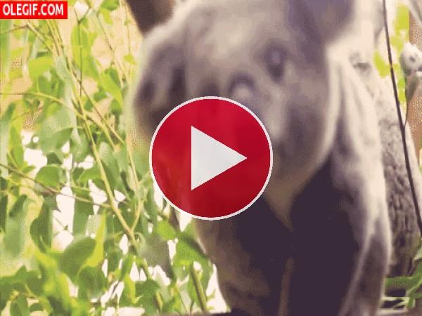 GIF: Un lindo koala nos observa