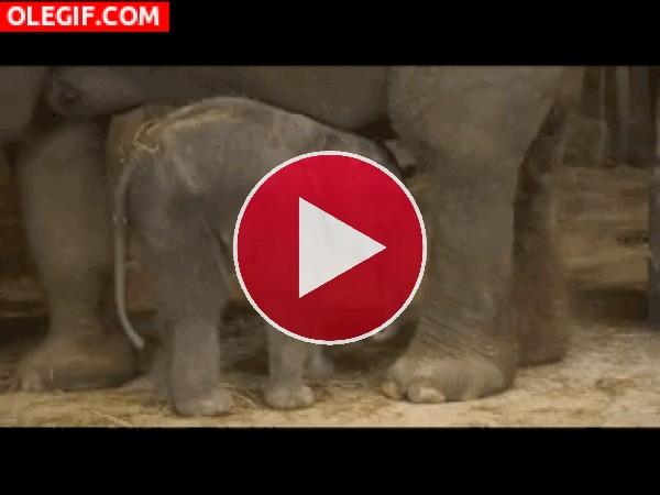 GIF: Mira a este elefantito cayéndose de culo