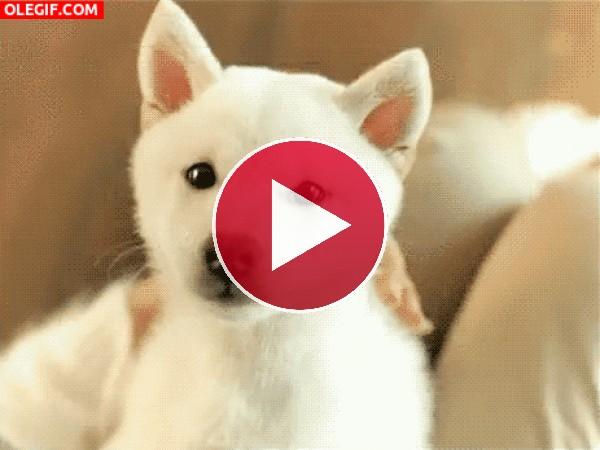 GIF: A este perro le encanta lamerse la nariz