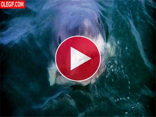 GIF: ¡Cuidado con el tiburón!