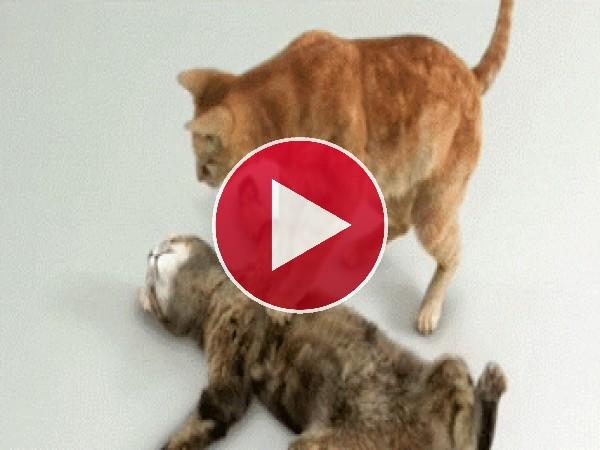 Este gato está realizando una perfecta maniobra de reanimación