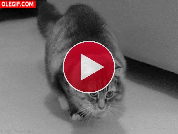 GIF: Este gato no para de contonearse
