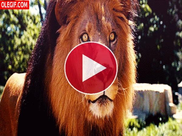 GIF: El lenguetazo del león