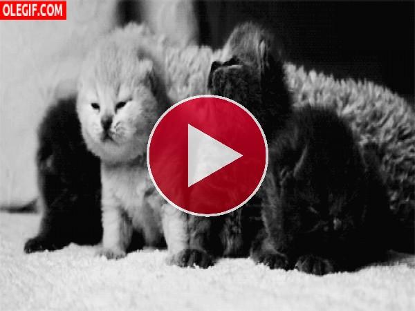 GIF: ¡Pero qué lindos son estos gatitos!