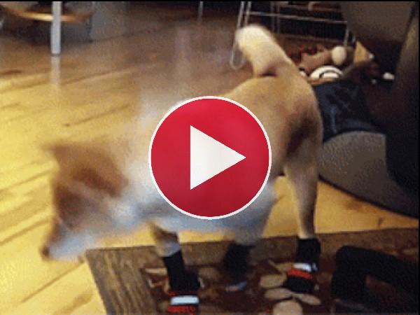 ¡Pobre perro no sabe caminar con calcetines!