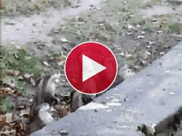 Suricatas dando saltitos