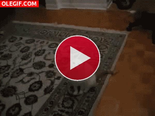 Este gato tiene complejo de canguro