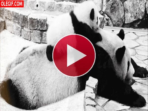 Mira cómo rueda el pequeño panda
