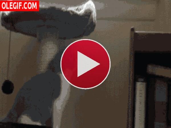 Este gato tiene problemas al saltar