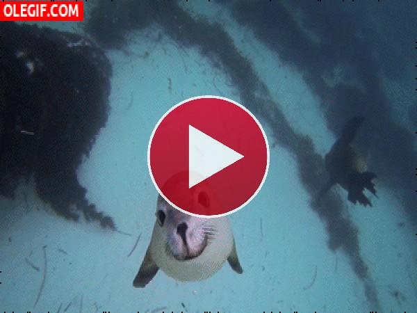 GIF: Una linda foca viene a saludarnos