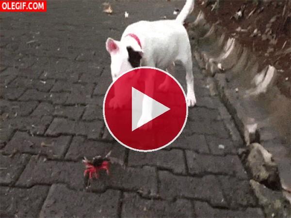 Este perro se emociona al ver a un cangrejo