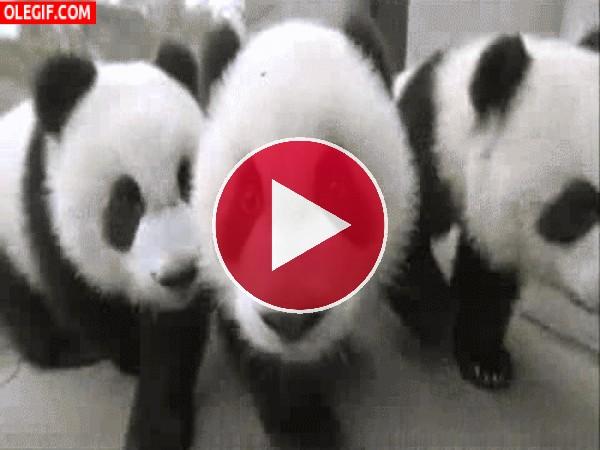 GIF: Cómo corren estos panda