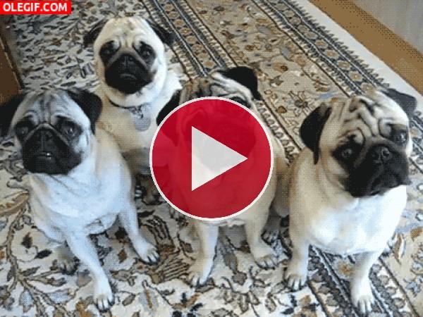 ¿Por qué giran la cabeza estos perros?