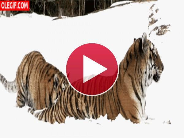 Tigre juguetón en la nieve