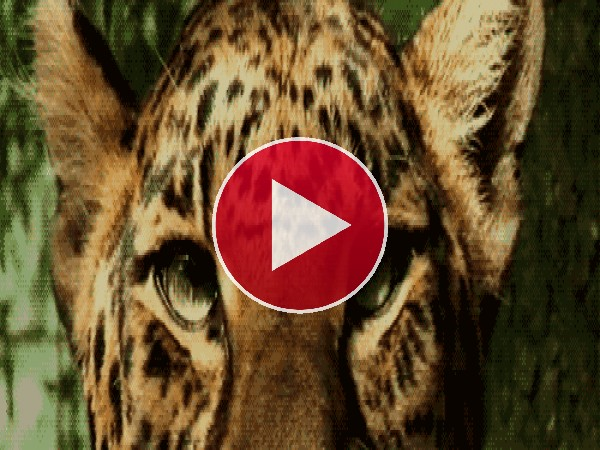 A este leopardo le molesta el sol en los ojos