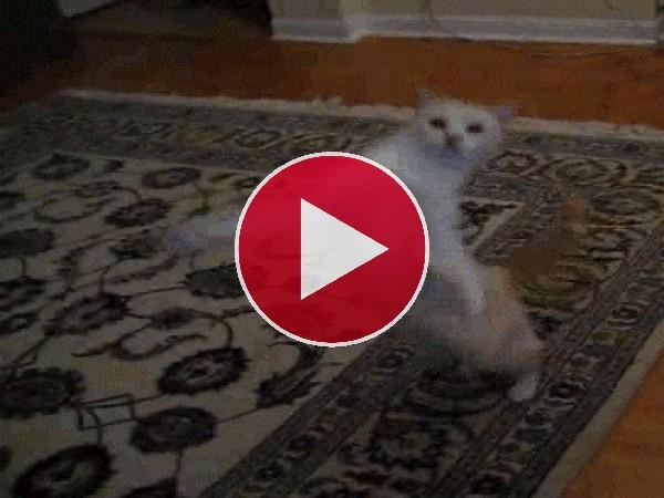 Un gato saltarín