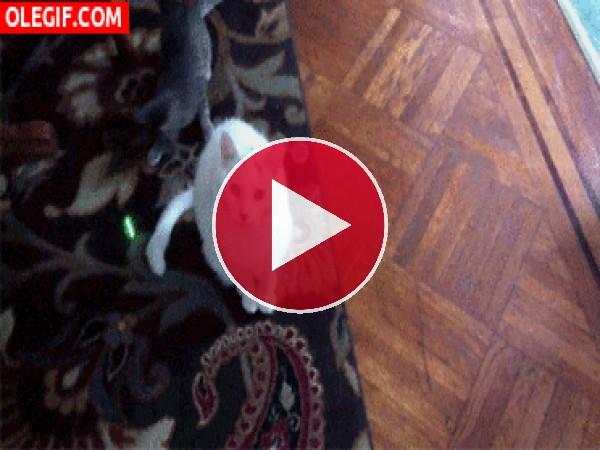 El gato gris se ha vuelto loco con el puntero láser