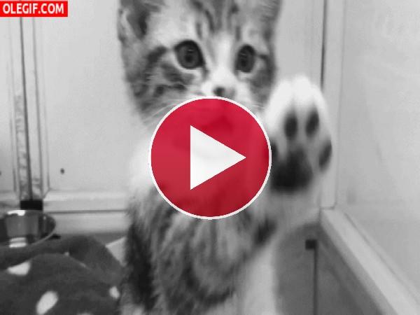Este gatito nos enseña su patita