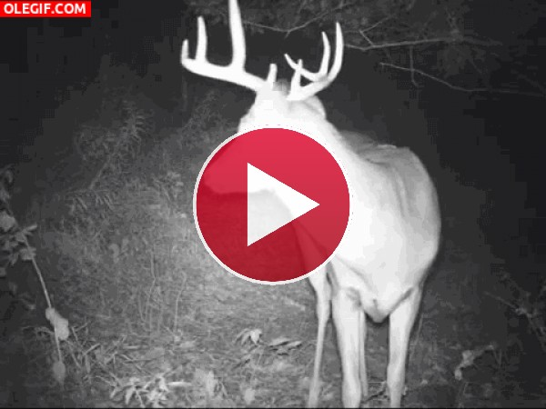 GIF: Un ciervo en la noche