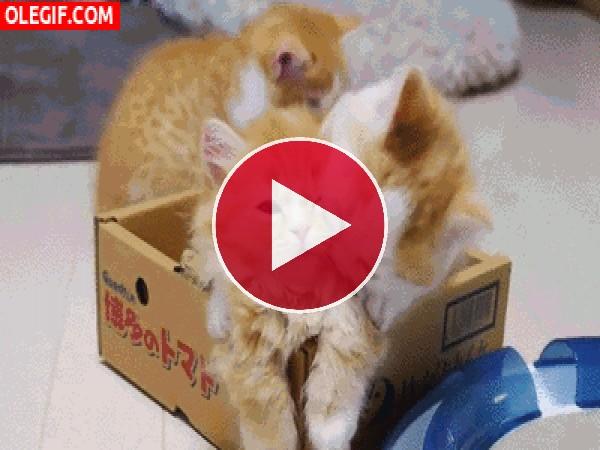 A este gatito le gusta morder el pelo de su hermano