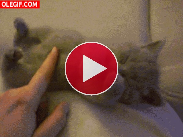 GIF: A este gatito le gusta que le acaricien