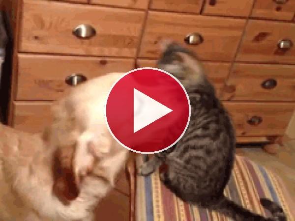 GIF: Este perro adora al gato