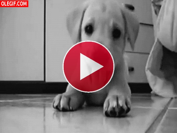 GIF: Cachorro lanzando mordisquitos