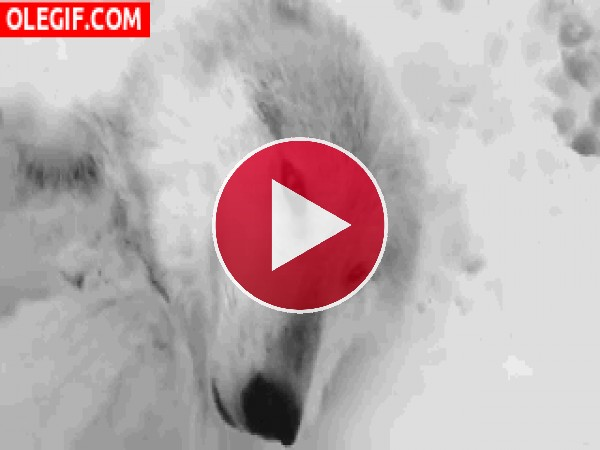 GIF: Este lobo se ha escurrido en la nieve y no se pude levantar
