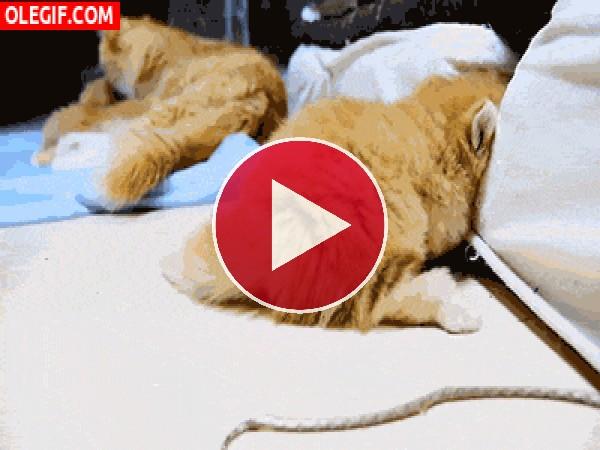 Familia de gatos jugueteando en el sofá