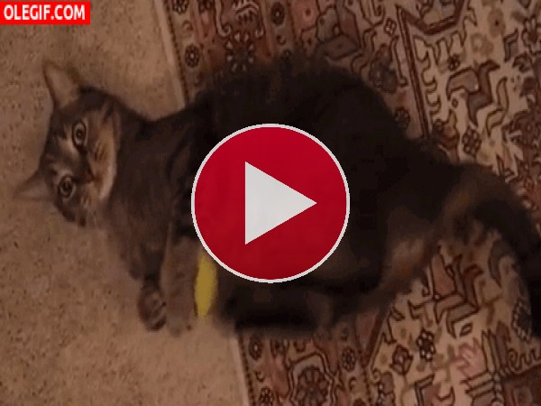 Gato ejercitando las patas