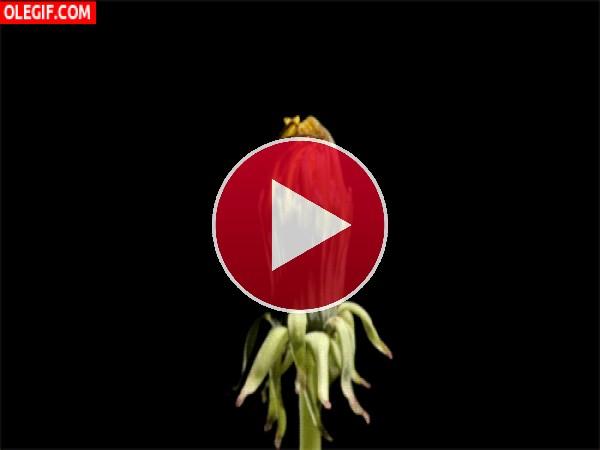 GIF: Contracciones en una flor
