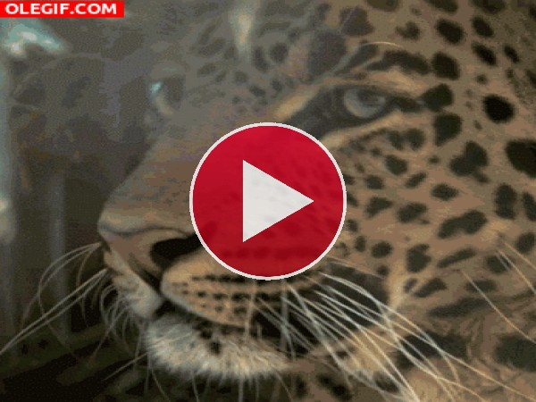 GIF: El rugido de un leopardo
