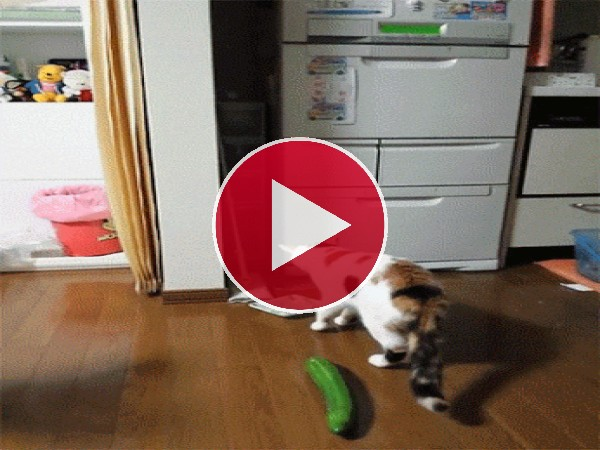 GIF: Este gato se asusta de un calabacín