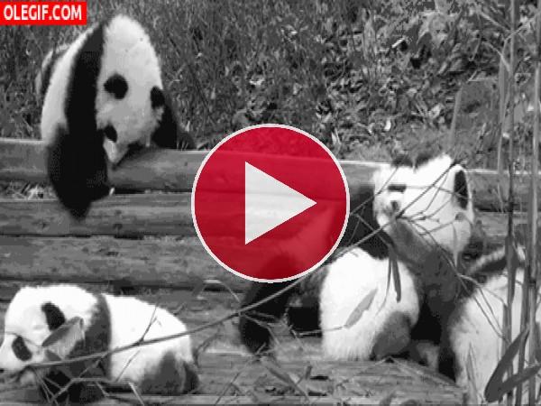 GIF: Esto parece una guardería de osos panda