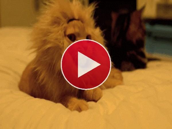 Gatito rugiendo como un león