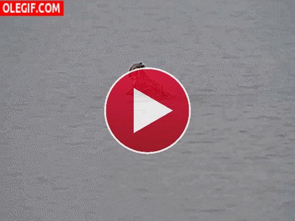 GIF: ¡Un búho nadando!