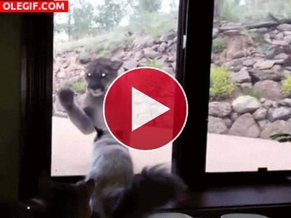GIF: Este puma quiere ser amigo del gato
