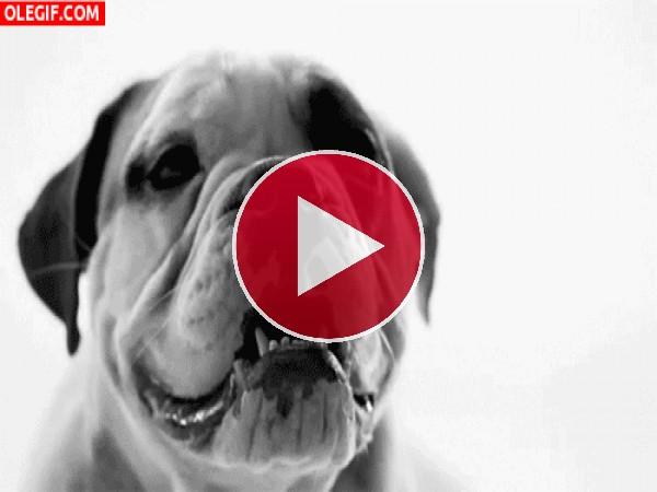 GIF: Este perro tiene cara de cabreo
