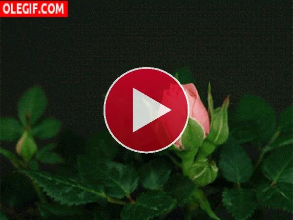 Esta rosa abre sus hermosos pétalos