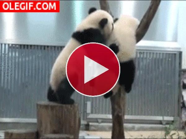 Vaya golpe se pegan estos dos pandas