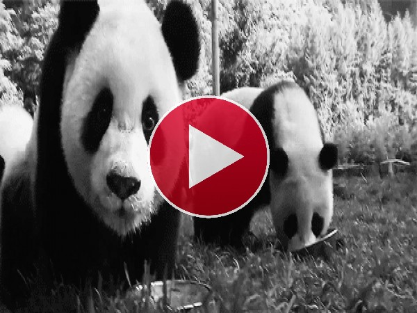GIF: Un oso panda muy curioso