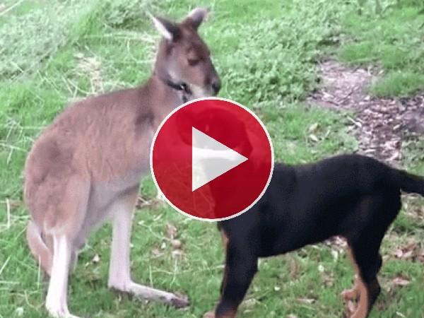 Mira a este canguro acariciando al perro