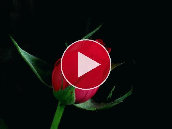 Mirad a esta rosa abriendo sus pétalos
